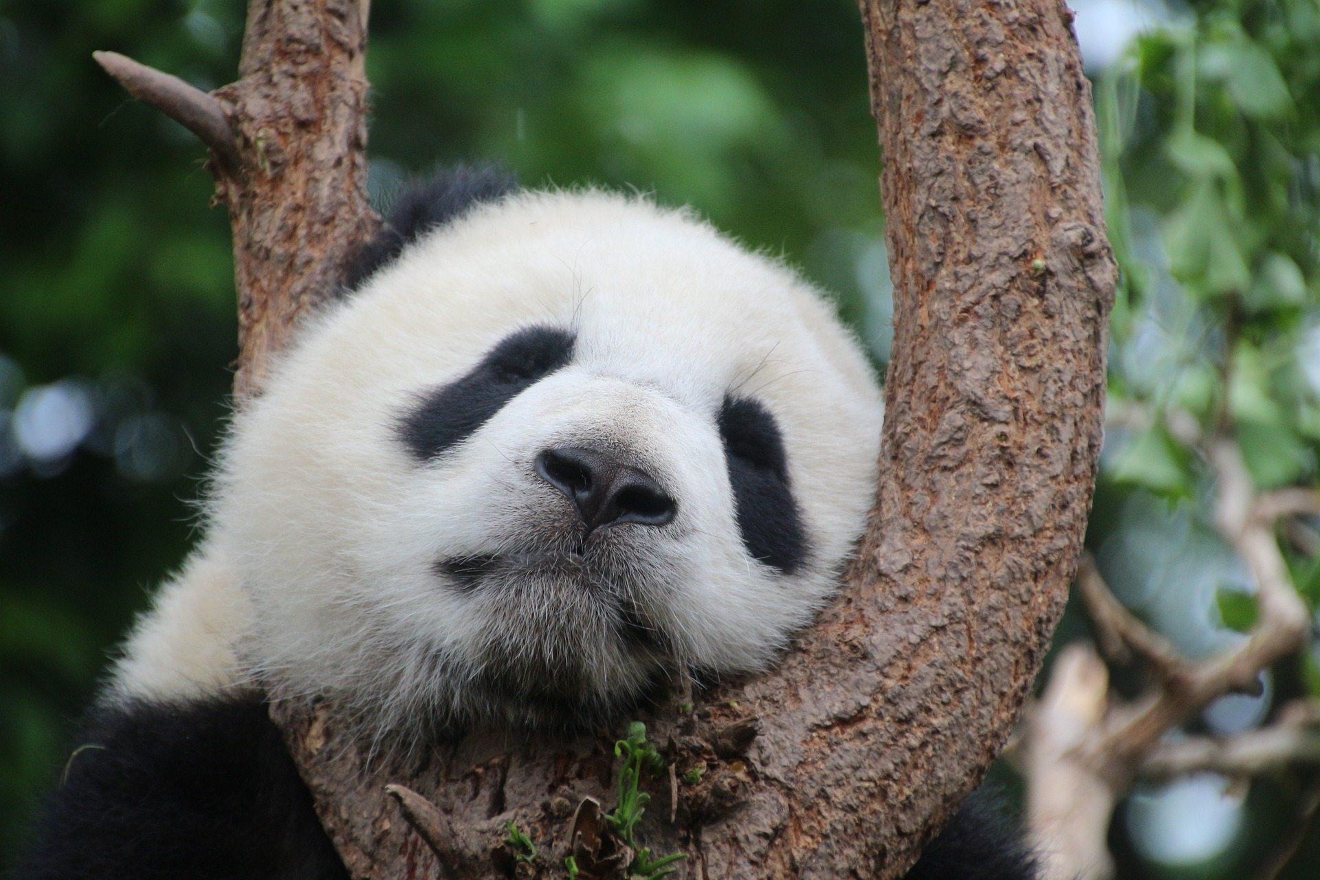 Pandas should be saved